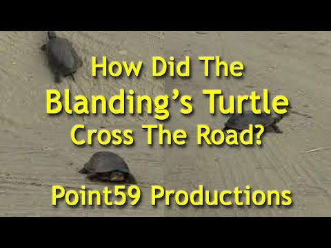 How did the Blandings Turtle Cross the Road?