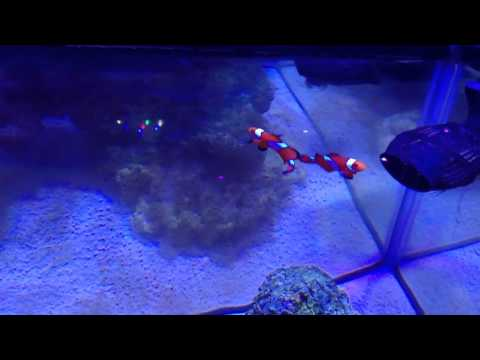 Clownfish Eating