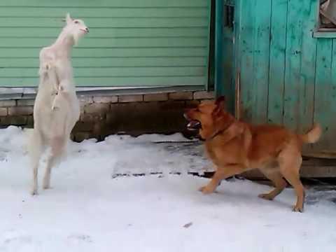 Коза против собаки,кто кого???