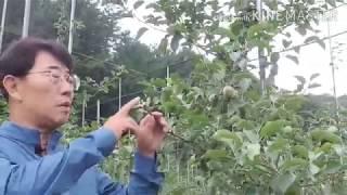 사과나무 여름 전정 2-1