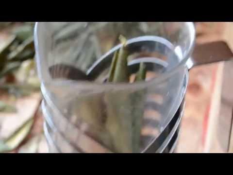 чай Рододендрон Кавказский