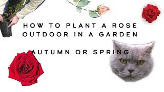 How to plant a rose outdoor in a garden autumn or spring (for beginners)