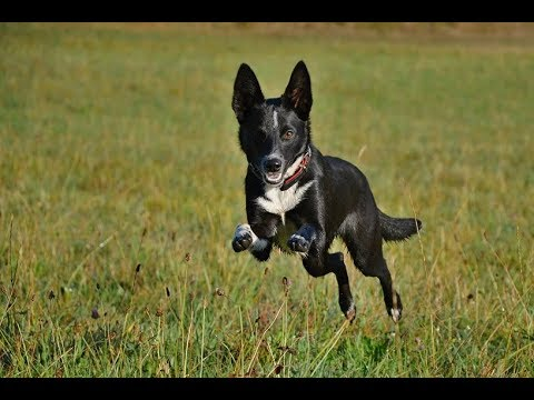 Australian koolie - agility, herding, dog tricks