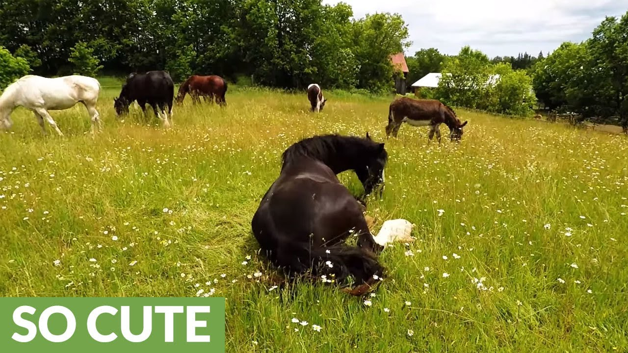 clydesdale-s-emotional-response-to-running-free-in-meadow