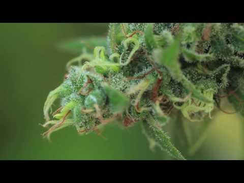 Cannabis Love Network a Marijuana Growers Association