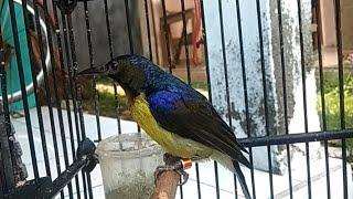 Download Lagu Suara Burung Kolibri Kelapa Jantan Gacor | Masteran UNIK Untuk Pleci , Opior, Prenjak, Glatik, Decu mp3