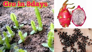 Grow in 8 Dąys Dragon fruit from seed by motivation life