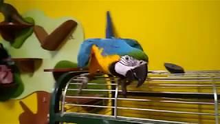 Большой попугай ругается с хозяйкой