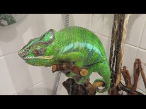 Panther chameleon drinking in shower
