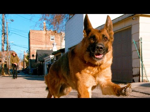 Thumbnail: German Shepherd Dog Running In 4K Slow Motion ( Alsatian Shepherd Dog )