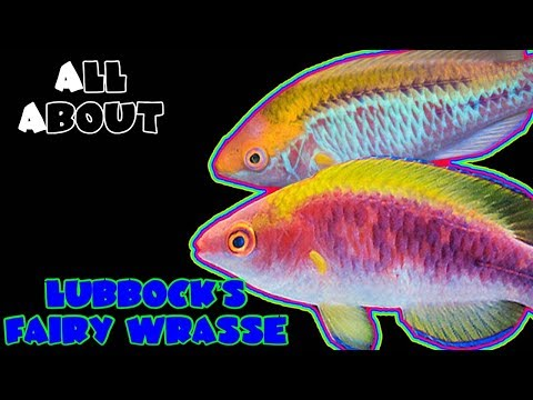All About The Lubbock's Fairy Wrasse