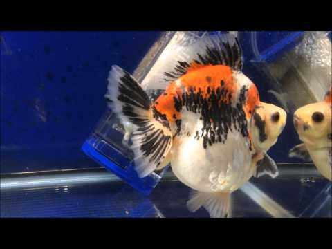 Some Aquarama 2015 Goldfish