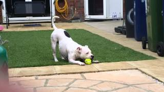 White Staffordshire Bull Terrier Playing