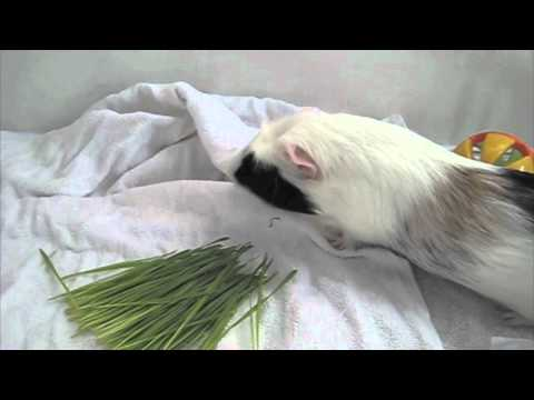 Little Pet Hotel Spa - Boarding Video For Chubby (Guinea Pig) - Owner Catherine