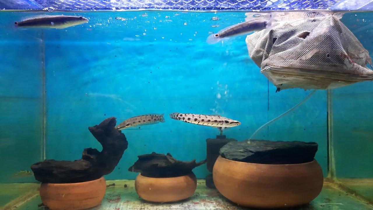 ปลากระสง
