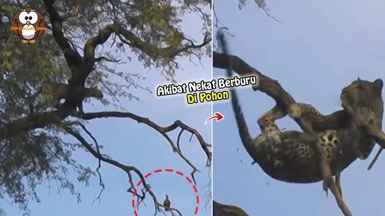 Akibat Nekat Berburu di Atas Pohon, Macan Tutul ini Mengalami Nasib Seperti ini....