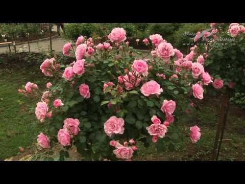 Роза Боника 82 (Bonika 82)
