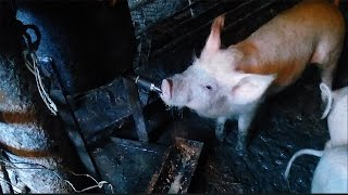 поилка для поросят своими руками  /Drinking  for piglets with own hands