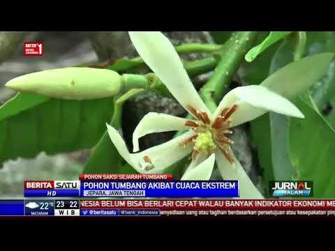 Pohon Bunga Kantil Tempat Kartini Bermain Tumbang Youtube