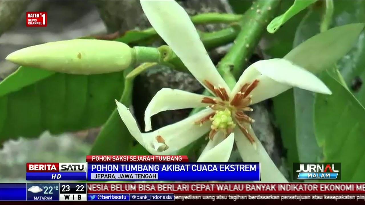 Pohon Bunga Kantil Tempat Kartini Bermain Tumbang