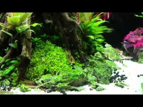 Dwarf cichlids, planted tank
