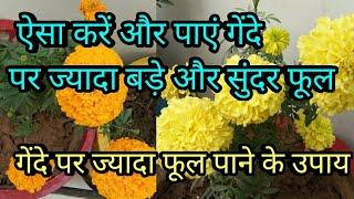 Marigold/गेंदा पर पाने हैं ज्यादा फूल तो यह तो करना पड़ेगा,get more flowere on marigold