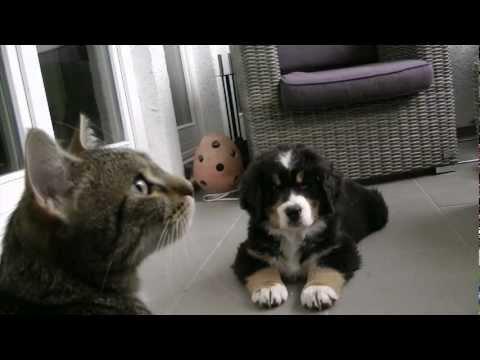 Bernese Mountain Dog Puppy - Berner Sennenhund Baby verliebt in eine Katze