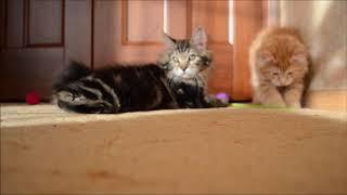 Смешные котята курильского бобтейла.