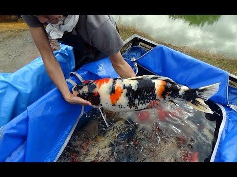 錦鯉/Pond Harvest Special koi./仙助