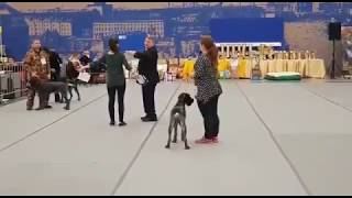 Смотреть видео Международная выставка собак всех пород ранга CACIB «Балтийский Триумф-2018» г. Санкт-Петербург онлайн