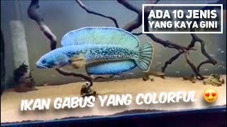 Jenis Ikan Gabus Gambar Ikan Jenis Jenis Ikan Gabus Hias Terpopuler Di Dunia Most Popular Snakehead Fish Youtube