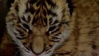 A rare South China tiger is born in South Africa
