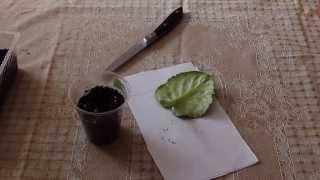 Как укоренить лист фиалки