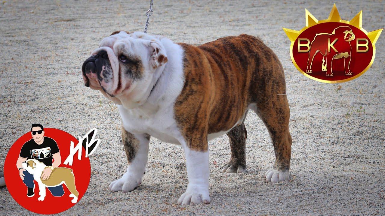Conociendo a: OB ROCKO Nuevo Campeón Americano!! Bulldog Ingles, Hector Bolaños