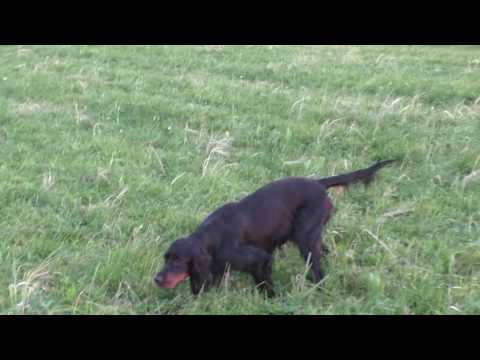 Gordon setter pointing Hare