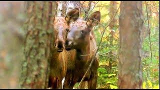 Поцелуй лосей. Чернобыль. Kiss elk. Chernobyl.(Полесский заповедник (Чернобыльская зона). Сентябрь. Два молодых лося наблюдают за взрослыми. Самка лося..., 2011-10-10T20:26:08.000Z)