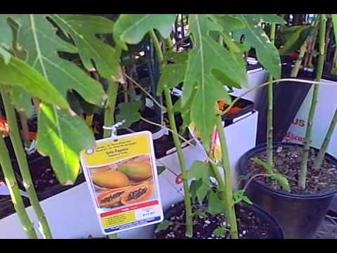 Tropical Fruit Trees for Sale at Lowes in Subtropical Northern California