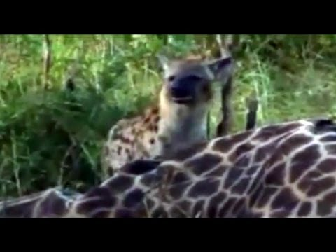 Djuma/Kruger Spotter - Hyenas And Vultures Eating A Giraffe In The Kruger Park