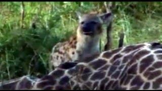 Djuma/Kruger Spotter - Hyenas And Vultures Eating A Giraffe In The Kruger Park