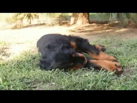 Irish Red and White Setter & Gordon Setter puppies - Shadow Dog