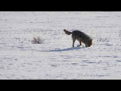 Coyote Mousing In Yellowstone