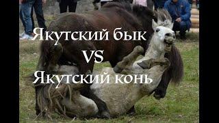 Якутский бык vs Якутский конь