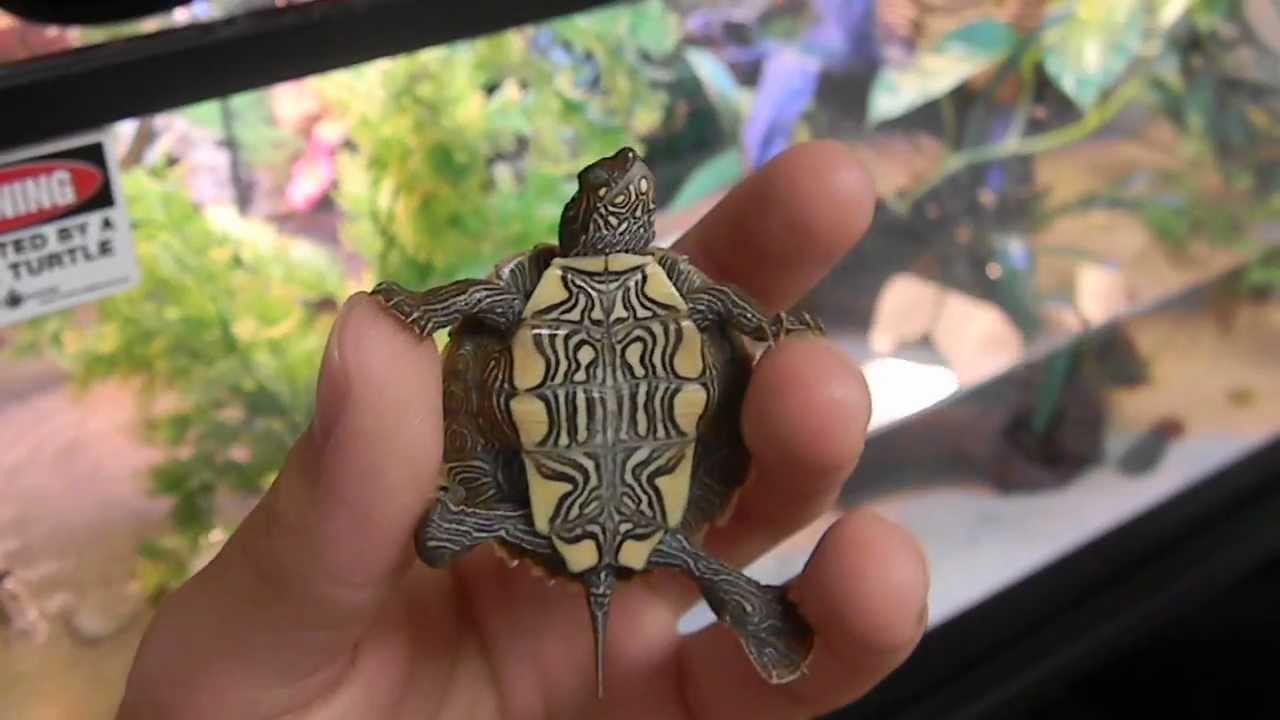 NEW ARRIVAL Ouachita Map Turtle