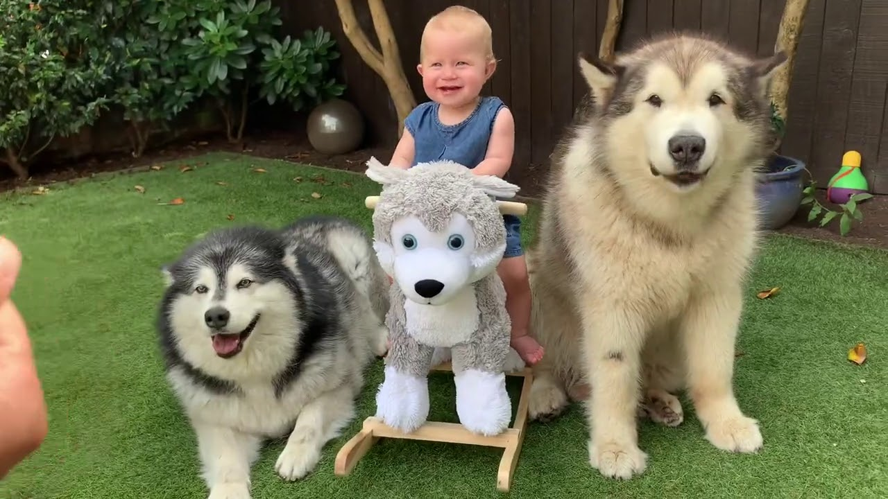 We Got A Husky Mia Has A New Furry Friend Cutest Video Ever Youtube From the popular instagram/facebook account @lifewithmalamutes and imgur lifewithmalamutes. we got a husky mia has a new furry friend cutest video ever