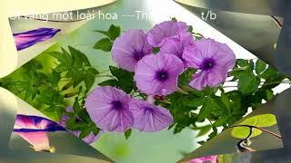 Dĩ vãng một loài hoa ThanhTruc