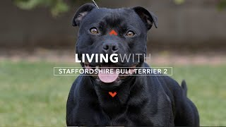 LIVING WITH STAFFORDSHIRE BULL TERRIERS 2: PROTECTION WORK
