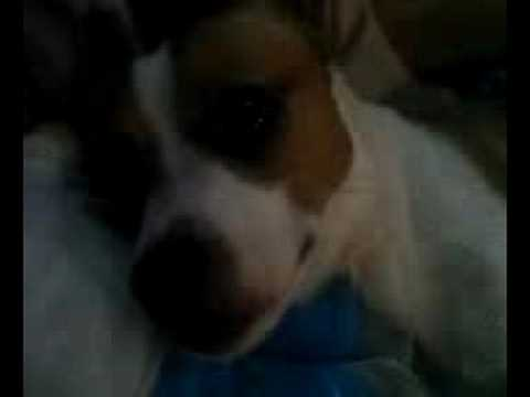 My Puppies Rat Terrier And Yorkshire Terrier Mix Youtube