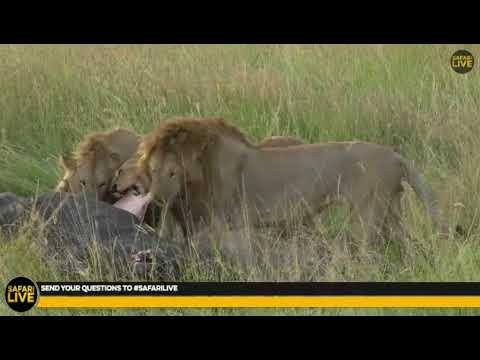 Wild Africa Hosana, Thamba and The Lions...
