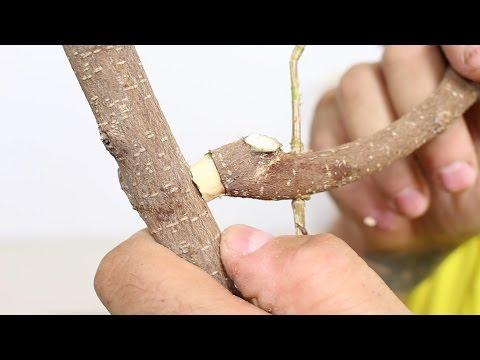 Cómo cambiar una rama madura de sitio en bonsai SI NO TIENE RAÍCES