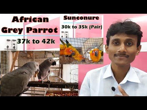 Parrot's Bird's Price / Exotic Parrot's Bird's Buy and Sale price in India.